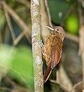 Plain-brown Woodcreeper - Trepador Marrón (Dendrocincla fuliginosa meruloides) (13895000480).jpg