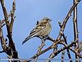 Plain Mountain Finch (Leucosticte nemoricola) (15894262505).jpg