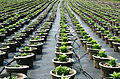 Plant nursery, pot rows.jpg