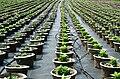 Plant nursery, pot rows.jpg