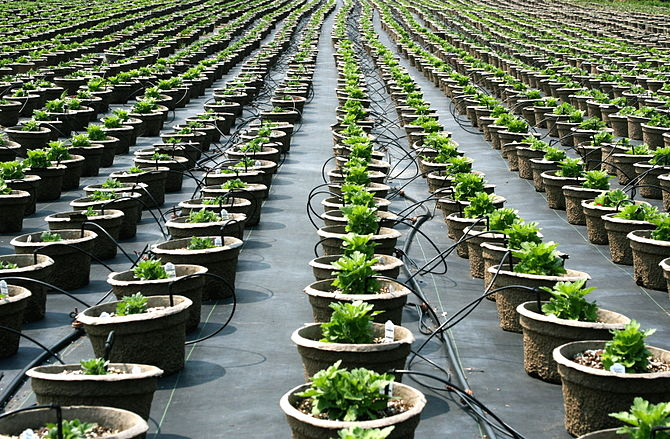 English: Rows of potted plants in a plant nursery