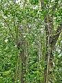 Plante à lignines.jpg
