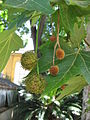 Platanus x acerifolia fruit 01 by Line1.jpg