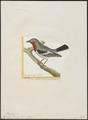 Platysteira cyanea - 1700-1880 - Print - Iconographia Zoologica - Special Collections University of Amsterdam - UBA01 IZ16500107.tif