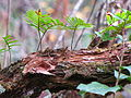 Pleopeltis polypodioides Brooker Creek.jpg