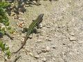 Podarcis tiliguerta, Tyrrhenian Wall lizard, near Bonifacio, Corsica, France.jpg