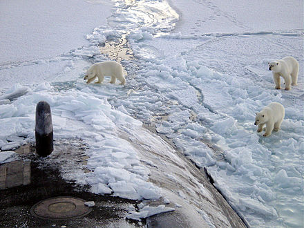 Polar bears on the sea ice of the Arctic Ocean, near the North Pole. Climate change has started affecting bear populations. Polar bears near north pole.jpg