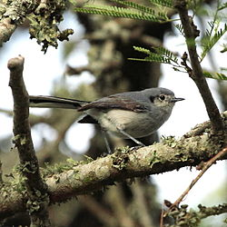 Polioptila dumicola - Masked Gnatcatcher (female).JPG