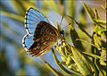 Polyommatus-bellargus-259135.jpg