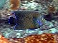 Pomacanthus semicirculatus Mahe2010 9133 v.JPG