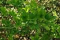 Poncirus trifoliatus, Conservatoire botanique national de Brest 08.jpg