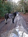 Pony on Castle Hill Lane, Burley Hill, New Forest - geograph.org.uk - 288194.jpg