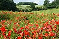 Poppies on the field edge - geograph.org.uk - 850219.jpg