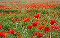 Poppy Field (19165908800).jpg