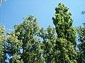 Populus nigra-1.jpg