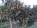 Portakal Bahçesi (Ahmet Elma) - panoramio.jpg