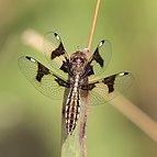 Portia widow (Palpopleura portia) female 2.jpg