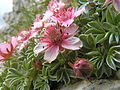 Potentilla nitida, pink cinquefoil (6114590581).jpg
