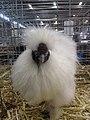 Poule soie blanche tête.jpg