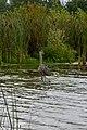 Prarie Oaks - Ardea herodias at Darby Bend Lakes 1.jpg