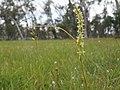 Prasophyllum petilum (habit).jpg