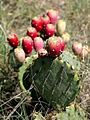 Prickly pear cactus in Texas.jpg