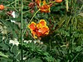 Pride of Barbados (324710995).jpg