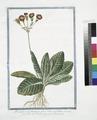 Primula varis hortensis, flore rubro, umbellato - Fior di Primavera - Primavere (NYPL b14444147-1125033).tiff