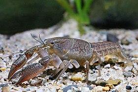 Procambarus fitzpatricki.jpg