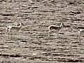 Procapra picticaudata 15896295.jpg