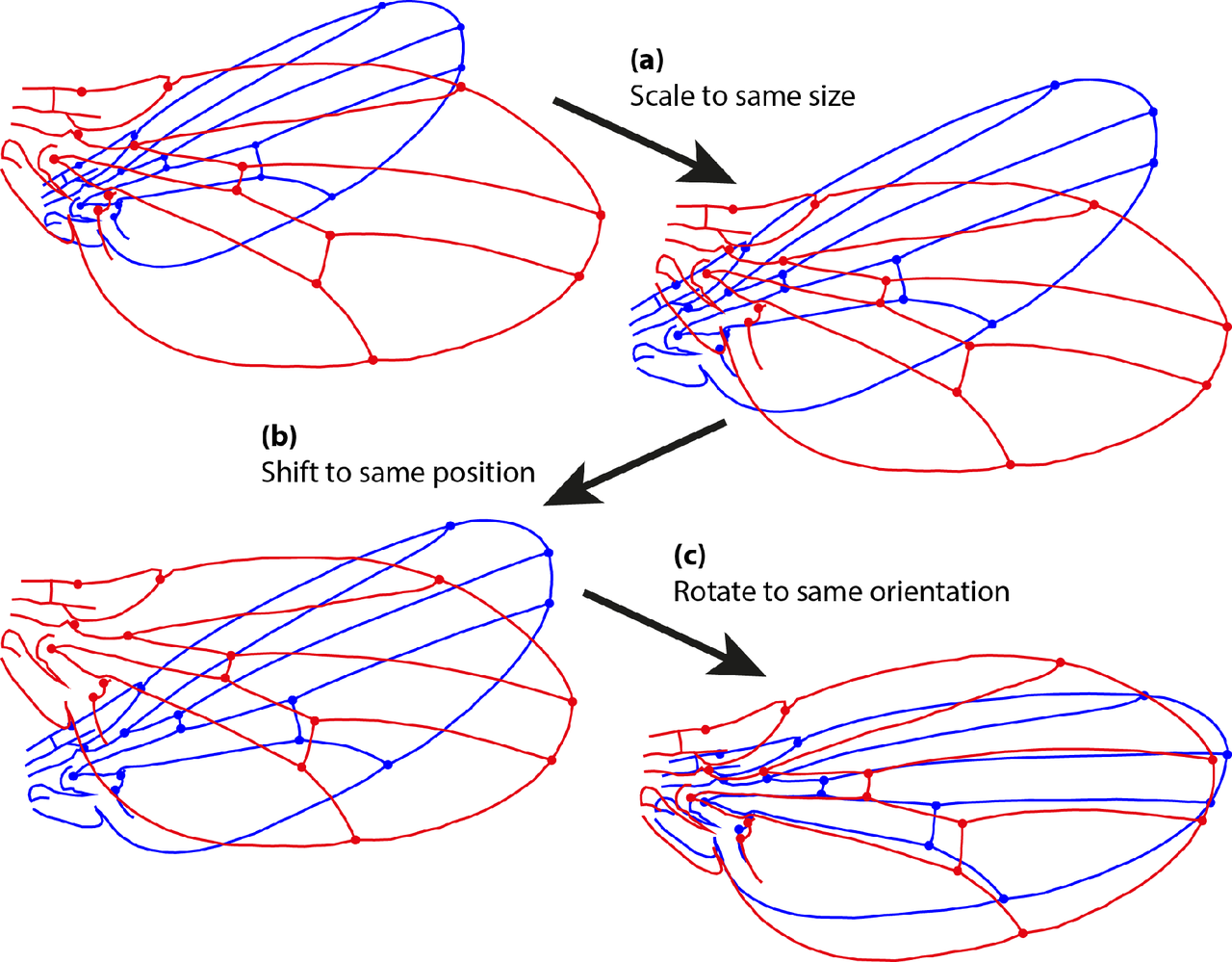 Procrustes superimposition. The figure shows the three transformation steps of an ordinary Procrustes fit for two configurations of landmarks. (a) Scaling of both configurations to the same size; (b) Transposition to the same position of the center of gravity; (c) Rotation to the orientation that provides the minimum sum of squared distances between corresponding landmarks.