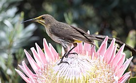 Promerops cafer -Cape Town, South Afirca -male-8.jpg