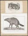 Proteles lalandii - 1700-1880 - Print - Iconographia Zoologica - Special Collections University of Amsterdam - UBA01 IZ22200107.tif
