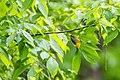 Prothonotary warbler (26783554195).jpg