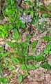Prunella grandiflora in Aveyron 03.jpg