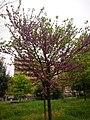 Prunus Persica in Rome 2019 - 07.jpg
