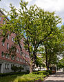 Prunus serrulata (20150525-DSC05300).JPG