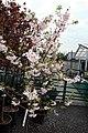 Prunus subhirtella Autumnalis 12zz.jpg