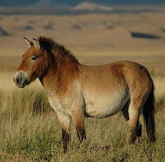 Przewalski's horse - Przewalski's horse