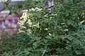 Pseudofumaria acaulis GotBot 2015 003.jpg