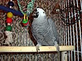 Psittacus erithacus -on wooden perch in cage-6b.jpg