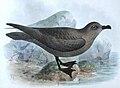 Pterodroma macroptera Godman.jpg