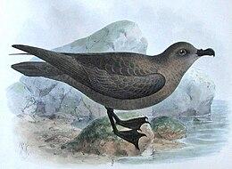 Pterodroma macroptera Godman
