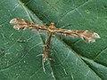 Pterophoridae sp. (40508837795).jpg