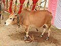 Punganur cattle-4-praba pet-salem-India.jpg