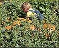 Punmpkin Hunting 10-26-13b (10561565113).jpg