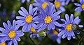 Purple Daisies (2627004717).jpg