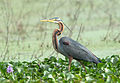 Purple Heron Ardea purpurea Basi Wetlands Gurgaon Haryana India 2014.jpg
