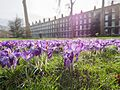 Purple crocus flowers of spring (33185515991).jpg