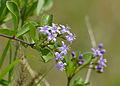Puzzlebush (Ehretia rigida nervifolia) flowers (11530198126).jpg